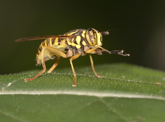 Yellowjacket mimic (cotinis) Tags: insect fly dipera syrphidae eristalinae spilomyia spilomyialongicornis hoverfly northcarolina piedmont sigma150mmexdgf28macro fridayflyday