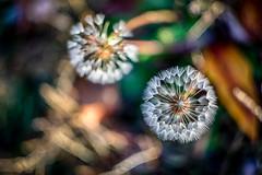 spores (kderricotte) Tags: spores dandelion weed flower sonya6000 helios44m458mmf2 bokeh blur vintagelens depthoffield macro outdoor plant