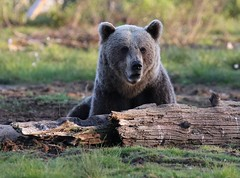 European Brown Bear head as he looks up (Paul Cottis) Tags: paulcottis finland 21 june 2016 boreal mammal brownbear