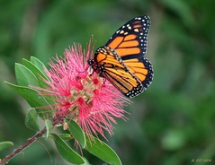 Monarch on a Bottlebrush (zeesstof) Tags: bottlebrushbush butterfly containmentpond danausplexippus insect monarch naturewalk sterlingridge texas thewoodlands zeesstof