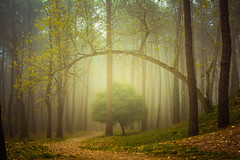 Fog & Woods (Explored) (Luis Marina) Tags: bosque familia liencres troncos niebla fog arbol curva torcido composicion composition atmosfera atmosphere woods forest wet cold spain santander cantabria 35mm mood