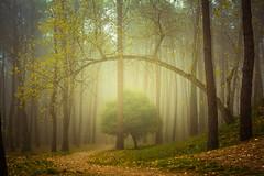 Fog & Woods (Explored) (Luis Marina) Tags: bosque familia liencres troncos niebla fog arbol curva torcido composicion composition atmosfera atmosphere woods forest wet cold spain santander cantabria 35mm mood
