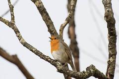 DSC_5002 (spilmer) Tags: robin singingrobin leightonmoss