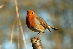 Christmas card robin (david.england18) Tags: robinredbreast robin christmascard smallbirds various tits blue coal great queensparkheywood canon7d canoneff4lisusm birdsuk