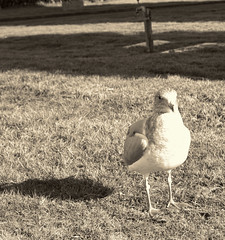 Just me and my shadow. (annapolis_rose) Tags: seagull shadow monochrome desaturate bird