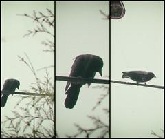 crowx3 (annapolis_rose) Tags: vancouver crows corvid bird blackbird