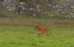 The little rascal :) (joeke pieters) Tags: 1310218 panasonicdmcfz150 heckrund heckrind heckcattle kalf calf kalb gans ganzen goose geese landschap landscape landschaft paysage herfst herbst autumn fall automne