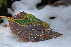 Herbstende 1 (DianaFE) Tags: dianafe dianae tropfen blatt laub eis frost november herbst makro freihandmakro