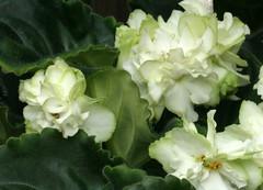 25-IMG_4749 (hemingwayfoto) Tags: berggartenhannover blhen blte blume flora floristik natur topfpflanze usambara usambaraveilchenspringrose veilchen zierpflanze zuchtform