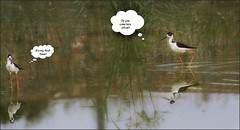 6878-  Romance at the Pond (canuckguyinadarkroom) Tags: birds blackneckedstilts nature romance