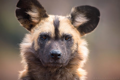 African Painted Dog Portrait (benstaceyphotography) Tags: painted dog hunter pack canine animal wildlife portrait ben stacey nikon 500mmf4 africa african endangered hypercarnivorous lycaon pictus wild hunting predator face eyes stare