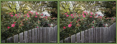 Brian_Roses And Fence 1b LG_111116_X (starg82343) Tags: