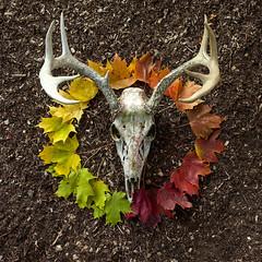 circle of life. (stevenbley) Tags: skull leaves autumn fall rainbow antlers skulls skeleton deer