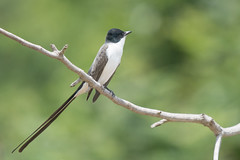A Tall Tail (Tim Melling) Tags: tyrannus savana forktailed flycatcher brazil pantanal timmelling