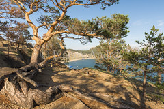 A crooked pine tree on a steep Bank (Ivanov Andrey) Tags: lake water rock cliff slope shore stone moss pine pinewood wood sand bay surf wave sky cloud horizon sun sunset evening blue skyblue green black trunk branch crown leaf bark rootwood wind coast coastline landscape shade wildlife travel tourism summer north lakebaikal russia