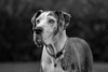 Boarhound #Püppi (Janne Fairy) Tags: great dane greatdane hund dog boarhound haustier pet pets white black bw weis schwarz tier tiere animals animal hunde gros groser eyes schärfentiefe depthoffield