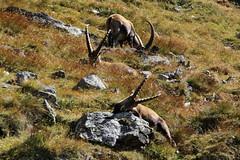 Val d'Aosta - Valsavarenche: vallone di Levionaz: sara' salata?? (mariagraziaschiapparelli) Tags: valdaosta valsavarenche levionaz casolaridilevionaz montagna mountain allegrisinasceosidiventa camminata escursionismo stambecco pngp parconazionaledelgranparadiso autunno