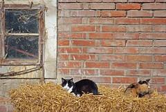 Yeux mi-clos (couleurs gm) Tags: img0278 cat chat gato 猫 couleursgm colors paille