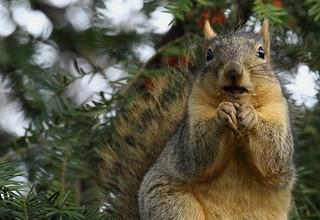 Squirrel, Morton Arboretum. 373 (EOS)