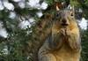 Squirrel, Morton Arboretum. 373 (EOS) (Mega-Magpie) Tags: canon eos 60d nature wildlife outdoors squirrel green tree the morton arboretum lisle dupage il illinois usa america