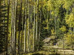 Walking Tesuque Creek Trail II (Mabry Campbell) Tags: 2016 h5d50c hasselblad houstonphotographer mabrycampbell nm newmexico october santafe santafecounty santafenationalforest tesuquecreektrail usa unitedstatesofamerica aspens autumn commercialphotography fall fineart fineartphotography hiking image landscape nature outdoors people photo photograph photography trees walking f40 october32016 20161003campbellb0000434 80mm sec 100 hc80