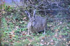 DSC_1087 Skogshare Viltstigen (hansjon42) Tags: skogshare
