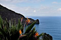 "Madeira: ""the Island of flowers"" (Behappyaveiro) Tags: madeiraisland islandofmadeira theislandofflowers portugal oceanoatlântico atlanticocean miradourodoguindaste strelitzia theguindasteviewpoint santana flowers faial birdofparadiseflower blue sea sky clouds infinity loveontherocks estrelícia volcanicisland strelitziareginae europa"