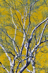 Winter Trees. CCphotoworks (CCphotoworks) Tags: tremendoustuesday outdoors nature birchbark bark baretrees birchtree tres winter