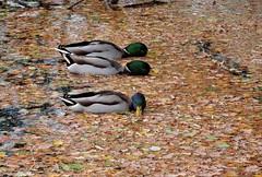 Mallards (PhotoLoonie) Tags: ducks mallards leaves nature autumn britishwildlife wildlife ukwildlife