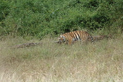 Munna taking a break (Chandrasekhar Bhattacharya) Tags: tiger kanha forest kisli jungle royalbengaltiger