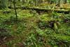Forest Floor (Dru!) Tags: cogburn green forest floor moss eastharrison bc britishcolumbia canada rainforest
