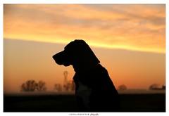 Pooky (aurelierouyer) Tags: portrait canin coucherdesoleil ctedor bourgogne france mydog pooky labrador blacklab automne