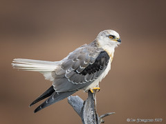 White-tailed Kite (pandatub) Tags: ebparks ebparksok bird birds kite whitetailedkite coyotehills