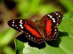 Scarlet Peacock (d_taron) Tags: ecuador orellana butterflies nymphalidae nymphalinae anartia anartiaamathaea