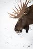 Elk head (Cloudtail the Snow Leopard) Tags: elch winter schnee snow elk moose tier animal mammal säugetier alces head portrait kopf wildpark bad mergentheim