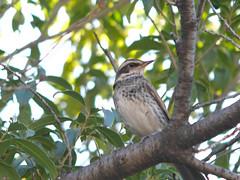 161211_GX7_1460056 (kuad9) Tags: bird