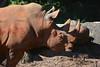 One Dirty Black Rhino (npbiffar) Tags: outdoor animal rhinoseros mud bath black npbiffar nikon d7100 70300mm