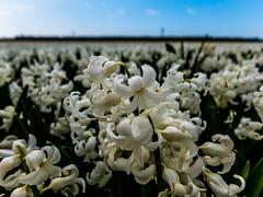 (McQuaide Photography) Tags: flowers flower holland netherlands canon europe nederland powershot bloemen bloem vijfhuizen g15 mcquaidephotography