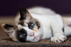 You looking at me? (John Sieber) Tags: cat snowshoe nani catportrait