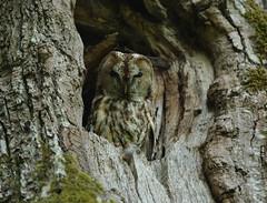 Forsti-Kauz (vil.sandi) Tags: tawnyowl strixaluco waldkauz