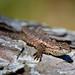 Prairie Lizard on a pine log