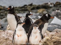 Papua penguin family (Ignacio Ferre) Tags: bird penguin antarctica ave pjaro pingino antrtida gentoopenguin pygoscelispapua pinginopapa pinginojuanito