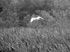 Great Egret Over White Lake (pecooper98362) Tags: blackwhite spring texas cattails heat egret greategret sugarland whitelake 31c greatwhiteheron 88f commonegret typhadomingensis ahobblingaday cullinanpark flyingegret 93humidity josephsandluciehcullinanpark