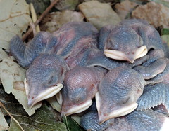 DSCN7597 (Refuge Stewards) Tags: purple martin puma banding steigerwald cgrs