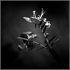 Oriental Lilie. Bronica S2, Orwo NP20, exp:1993. (Andrey Maltsev) Tags: old bw 120 6x6 film canon lily scan 120film lilies bronica scanned 1992 lilium expiredfilm redlily orwo bwfilm middleformat 8800 blackandwhitefilm bronicas2 iso80 orwonp20 np20 orientallilie canon8800f redlilium