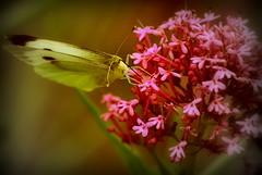 Small White Butterfly (jamespmortimore) Tags: summer spring nikon cornwall wasp bokeh wildlife insects wasps falmouth ukwildlife springuk summeruk bokehandbeyond nikond3100