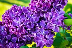 Lilac Euphoria