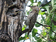 Pic Flamboyant et ses bbs - Northern Flicker and the babies.........2 Juillet 2014....DSCN0941 (Diane.D.G.) Tags: birds oiseaux northernflicker faunaandflora coth specanimal picflamboyant avianexcellence sacrednature damniwishidtakenthat damnfinepicture alittlebeauty bestofdamn coth5 treasuresofkeepyoureyesopen dmslair eblouissantenature thesunshinegroup sunrays5 collectionparimpatience