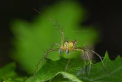細紋貓蛛(雄)  Oxyopes macilentus L. Koch, 1878 (Taiwan-Awei) Tags: awei taiwanawei spider macro 蜘蛛 林敬偉 微距