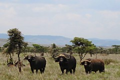 Cape Buffalo Trio